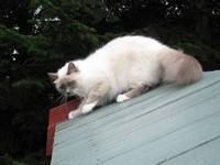Blue point sacred birman