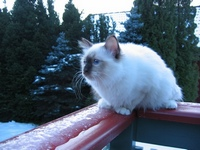 Chocolate point sacred birman